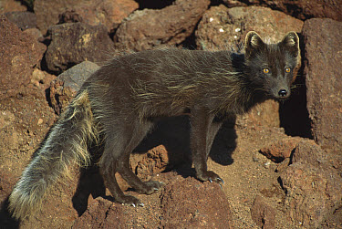 Arctic Fox (Alopex lagopus) in blue phase, vixen returning to den in red scoria volcanic rock, St George Island, The Pribilof Islands, Alaska  -  Yva Momatiuk & John Eastcott