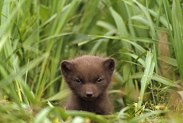 Arctic Fox (Alopex lagopus) pup in blue phase at entrance of burrow, Saint Paul Island, Pribilof Islands, Alaska