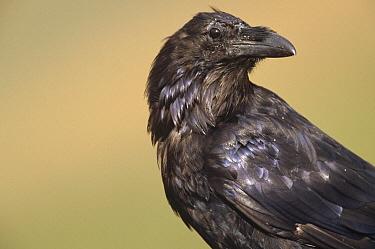 Common Raven (Corvus corax) perched, Denali National Park and Preserve, Alaska  -  Yva Momatiuk & John Eastcott