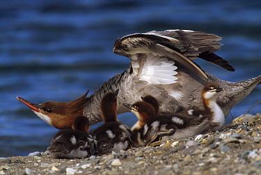 Common Merganser (Mergus merganser) female with ducklings on shore, summer, Katmai National Park, Alaska  -  Yva Momatiuk & John Eastcott