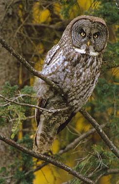 Great Gray Owl (Strix nebulosa) in boreal forest, autumn, northern British Columbia, Canada  -  Yva Momatiuk & John Eastcott