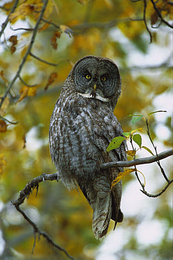 Great Gray Owl (Strix nebulosa) perched in tree in boreal forest, autumn, northern British Columbia, Canada  -  Yva Momatiuk & John Eastcott