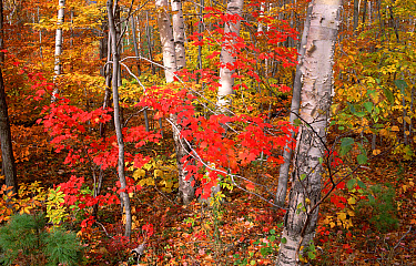 Maple (Acer sp) trees Ash, Birch trees in autumn, Vermont  -  Yva Momatiuk & John Eastcott