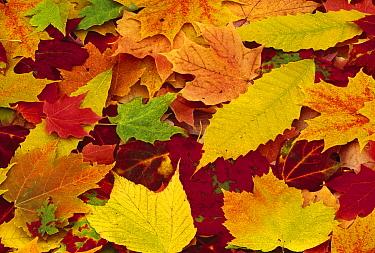 Autumn leaves changing color, Hurley, New York  -  Yva Momatiuk & John Eastcott