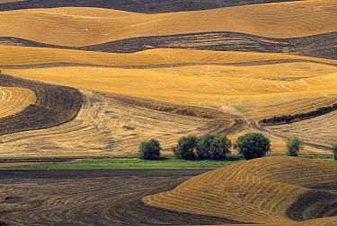 Wheat (Triticum sp) fields ploughed and burned after harvest, Palouse Hills, Washington  -  Yva Momatiuk & John Eastcott