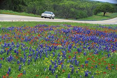 Sand Bluebonnet (Lupinus subcarnosus) and Paintbrush (Castilleja sp) flowers in spring meadow, Hill Country, Texas  -  Yva Momatiuk & John Eastcott
