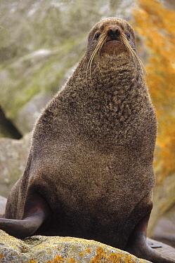 Northern Fur Seal (Callorhinus ursinus) adult non-territorial male on coastal rocks, St Paul Island, Pribilof Islands, Alaska  -  Yva Momatiuk & John Eastcott