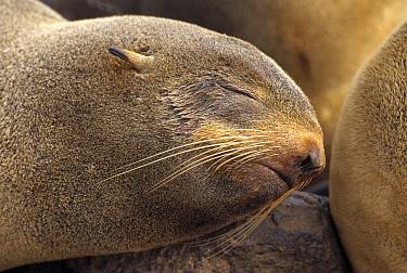 Northern Fur Seal (Callorhinus ursinus) female sleeping in rookery, summer season, St Paul Island, Pribilof Islands, Alaska  -  Yva Momatiuk & John Eastcott