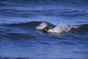 Northern Fur Seal (Callorhinus ursinus) young male body-surfing in shallow water near bachelor haul-out beach, summer, St Paul Island, Pribilof Islands, Alaska  -  Yva Momatiuk & John Eastcott