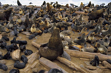 Northern Fur Seal (Callorhinus ursinus) harem group in large rookery, St Paul Island, Pribilof Islands, Alaska  -  Yva Momatiuk & John Eastcott
