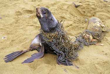 Northern Fur Seal (Callorhinus ursinus) entangled sub-adult male on beach, he was disentangled and freed, St Paul Island, Pribilof Islands, Alaska  -  Yva Momatiuk & John Eastcott