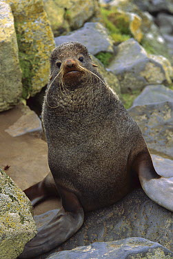 Northern Fur Seal (Callorhinus ursinus) portrait of young bull in summer, St Paul Island, Pribilof Islands, Alaska  -  Yva Momatiuk & John Eastcott
