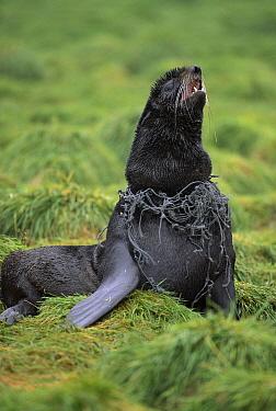 Northern Fur Seal (Callorhinus ursinus) young bull entangled in net has swollen neck and cuts, Bering Sea, Saint George Island, Pribilof Islands, Alaska