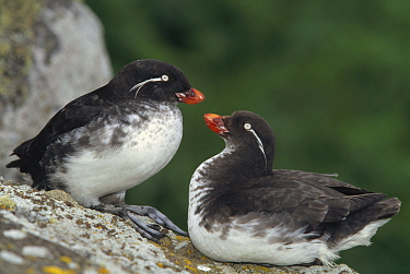 Parakeet Auklet (Cyclorrhynchus psittacula) pair interacting on coastal rocks, Bering Sea, Saint Paul Island, Pribilof Islands, Alaska