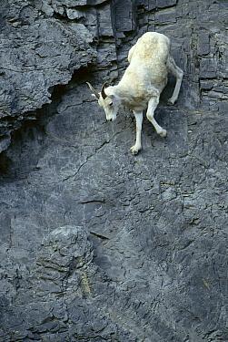 Dall's Sheep (Ovis dalli) spring lamb climbs down steep rock face, Brooks Range, North Slope, Alaska  -  Yva Momatiuk & John Eastcott
