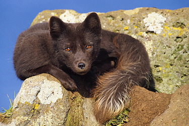 Arctic Fox (Alopex lagopus) in blue phase on coastal cliff, Saint Paul Island, Pribilof Islands, Alaska