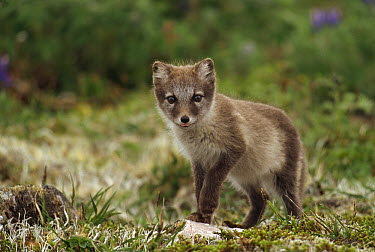 Arctic Fox (Alopex lagopus) pup inspects tundra near family's den, St George Island, The Pribilof Islands, Alaska  -  Yva Momatiuk & John Eastcott