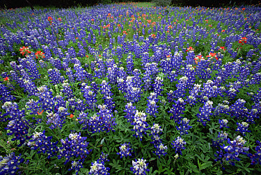 Indian Paintbrush (Castilleja attenuata) and Texas Bluebonnet (Lupinus texensis) field, Hill Country, Texas  -  Yva Momatiuk & John Eastcott
