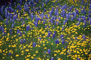 Texas Bluebonnet (Lupinus texensis) flowers and Desert Sunflowers (Geraea canescens), Hill Country, Texas  -  Yva Momatiuk & John Eastcott