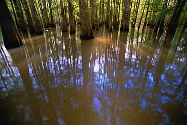 Bald Cypress (Taxodium distichum) and Tupelo (Nyssa aquatica) forest in the spring, Atchafalaya River Swamp, Louisiana  -  Yva Momatiuk & John Eastcott