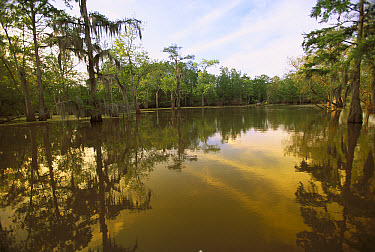 Bald Cypress (Taxodium distichum) and Tupelo (Nyssa aquatica) forest with reflection, spring, Atchafalaya River Swamp, Louisiana  -  Yva Momatiuk & John Eastcott