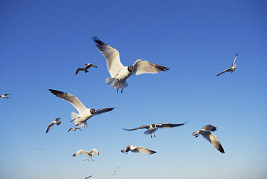 Laughing Gull (Leucophaeus atricilla) flock flying over Atlantic Ocean, near Hatteras Island, North Carolina  -  Yva Momatiuk & John Eastcott