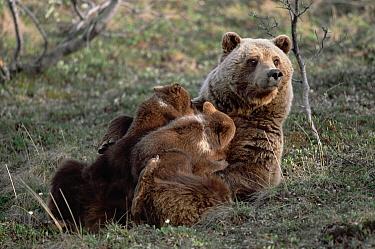 Grizzly Bear (Ursus arctos horribilis) mother nursing her spring cubs, Denali National Park and Preserve, Alaska  -  Yva Momatiuk & John Eastcott