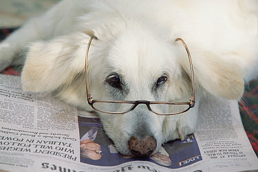 Domestic Dog (Canis familiaris) white male, looking bored with reading glasses and newspaper  -  Yva Momatiuk & John Eastcott