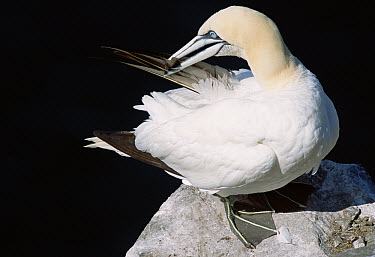 Northern Gannet (Morus bassanus) side view, portrait of adult preening feathers in breeding colony, summer season, Cape St Mary's Ecological Reserve, Newfoundland, Canada  -  Yva Momatiuk & John Eastcott