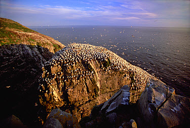 Northern Gannet (Morus bassanus) breeding colony on seastack and shore, summer evening, Cape St Mary's Ecological Reserve, Newfoundland, Canada  -  Yva Momatiuk & John Eastcott
