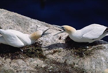 Northern Gannet (Morus bassanus) pair aggressively defending their territory in breeding colony, summer, Newfoundland, Canada  -  Yva Momatiuk & John Eastcott