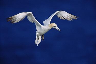 Northern Gannet (Morus bassanus) flying near breeding colony on Bonaventure Island, known as the largest breeding colony in North America, October, Quebec, Gaspesie Peninsula, Canada  -  Yva Momatiuk & John Eastcott