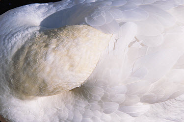 Northern Gannet (Morus bassanus) close-up portrait sleeping with head tucked in back feathers, Bonaventure Island breeding colony, Quebec, Gaspesie Peninsula, Canada  -  Yva Momatiuk & John Eastcott