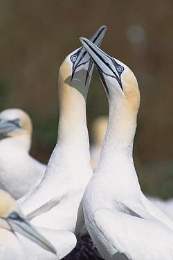 Northern Gannet (Morus bassanus) pair fencing with their bills in greeting ritual, Bonaventure Island breeding colony, Quebec, Gaspesie Peninsula, Canada  -  Yva Momatiuk & John Eastcott
