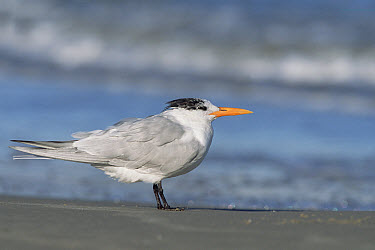 Royal Tern (Thalasseus maximus) on beach, spring, Gulf of Mexico, Padre Island National Seashore, Texas  -  Yva Momatiuk & John Eastcott