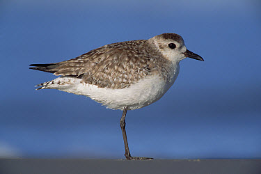 Black-bellied Plover (Pluvialis squatarola) non-breeding bird resting on one leg on shore, spring, Gulf of Mexico, Padre Island National Seashore, Texas  -  Yva Momatiuk & John Eastcott