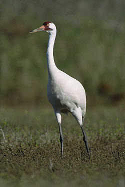 Whooping Crane (Grus americana) in marsh grass at wintering grounds, Gulf of Mexico, Aransas National Wildlife Refuge, Texas  -  Yva Momatiuk & John Eastcott
