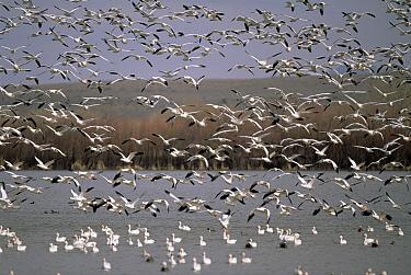 Snow Goose (Chen caerulescens) huge flocks flying at wintering grounds, spring, Bosque del Apache National Wildlife Refuge, New Mexico  -  Yva Momatiuk & John Eastcott