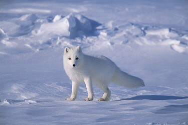Arctic Fox (Alopex lagopus) in spring, North Slope, Alaska