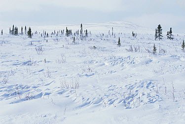 Taiga becomes tundra, tree line in snow, near polar circle, Finger Mountain region, early spring, near Dalton Highway, Alaska  -  Yva Momatiuk & John Eastcott