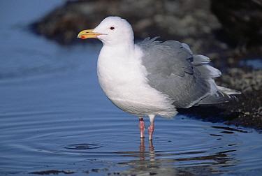 Glaucous-winged Gull (Larus glaucescens) ready to bathe in rain puddle, in spring, Alaska  -  Yva Momatiuk & John Eastcott
