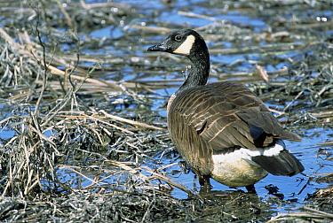 Dusky Canada Goose (Branta canadensis occidentalis) rare and protected, walking, resting, feeding in wetlands during spring, Copper River Delta, Alaska  -  Yva Momatiuk & John Eastcott