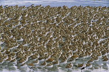 Western Sandpiper (Calidris mauri) flock roosting during high tide, Copper River Delta, Alaska  -  Yva Momatiuk & John Eastcott