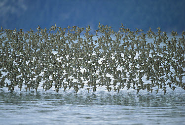 Western Sandpiper (Calidris mauri) migrating to breed on arctic coast, large flock flying low over mudflats where they feed on worms, insects and crustaceans in the spring, Copper River Delta, Alaska  -  Yva Momatiuk & John Eastcott