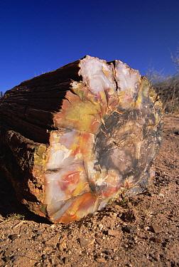 Petrified wood log with intricate patterns and colors, Petrified Forest National Park, Arizona  -  Yva Momatiuk & John Eastcott