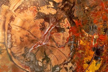 Petrified wood, cut and polished with intricate patterns and colors, Petrified Forest National Park, Arizona  -  Yva Momatiuk & John Eastcott