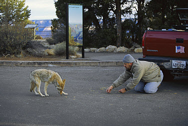 Coyote (Canis latrans) illegally fed by tourist in spite of warning signs, Mather Point Parking, South Rim, Grand Canyon National Park, Arizona  -  Yva Momatiuk & John Eastcott