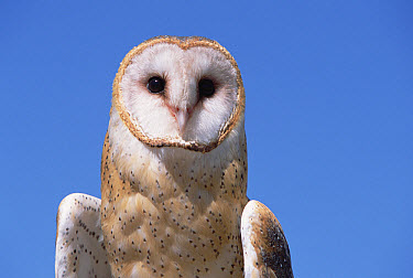 Barn Owl (Tyto alba) portrait against blue sky in desert, spring, Arizona-Sonora Desert Museum, Arizona  -  Yva Momatiuk & John Eastcott