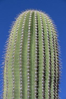 Saguaro (Carnegiea gigantea) cactus, with spines on top of plant, Sonoran Desert National Monument, western Arizona  -  Yva Momatiuk & John Eastcott