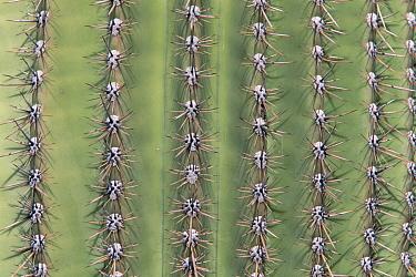 Saguaro (Carnegiea gigantea) cactus, with spines in a row on side of plant, Sonoran Desert National Monument, western Arizona  -  Yva Momatiuk & John Eastcott